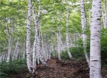 [영양]영양 자작나무숲 국비 공모사업 선정